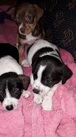 Doa-se cachorrinhos mistura de pinther com raça não definida