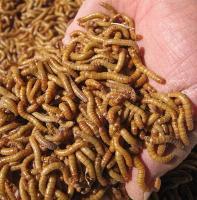 Alimento Para Aves ,Peixe , Répteis (larva de tenebrio