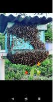 Abelhas (retiramos enchames de abelhas)